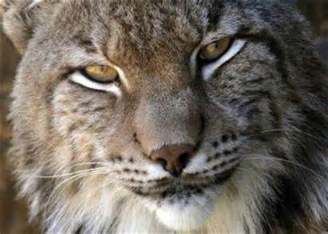 lynx symbolism spirit animal symbol of hidden secrets