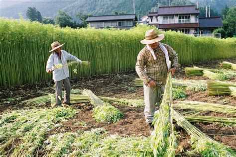 cannabis the fabric of japan the japan times