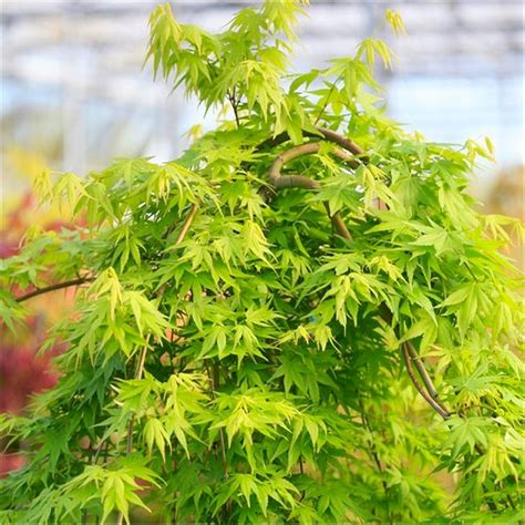 acer palmatum cascade gold golden foliage weeping waterfall japanese maple large tree