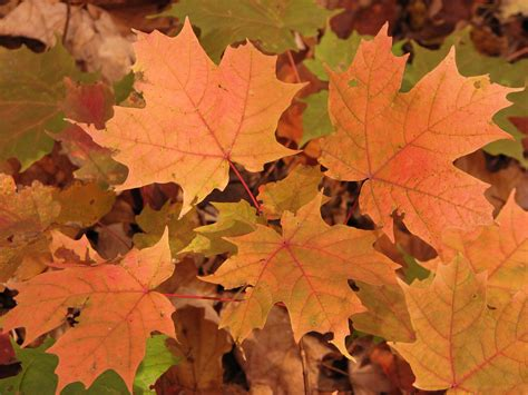 file canadian maple leaf jpg file orange maple leaves in 2007 jpg wikimedia commons