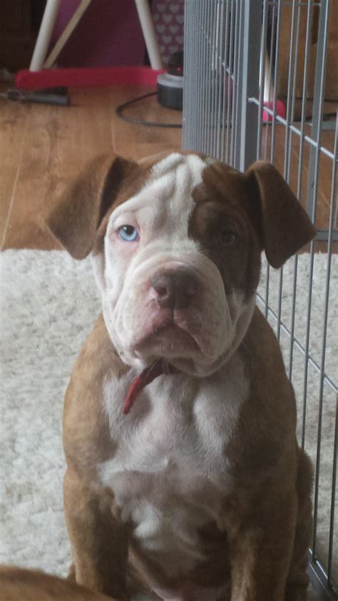 alapaha blue blood bulldog puppies for sale alapaha blue blood bulldog puppies sheffield south pets4homes
