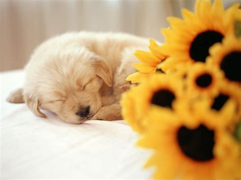 puppy wallpaper iphone iphone wallpaper hd wallpapers images pictures desktop backgrounds photos