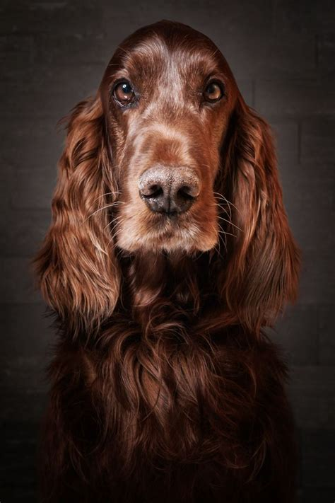 setter dog breed characteristics irish setter dog breed information pictures