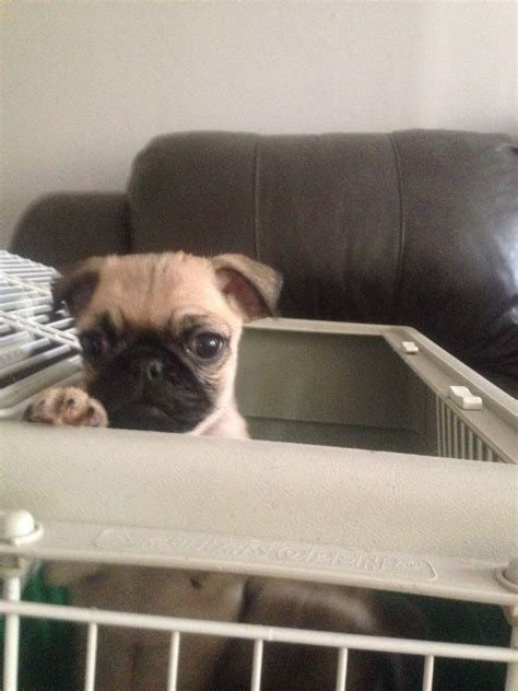 pugs for sale berkshire 98 pugs for sale bracknell berkshire pets4homes