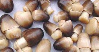 Budidaya Jamur Merang cara budidaya jamur merang dengan media kardus