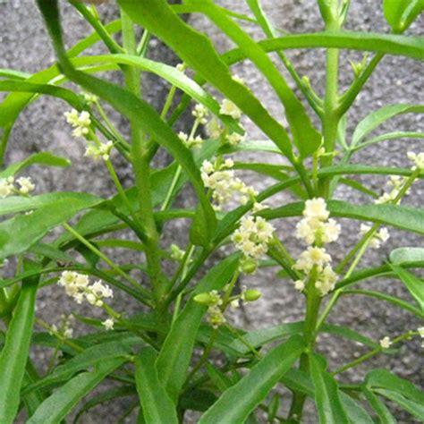 Tanaman Zodia Pengusir Nyamuktanaman Pengusir Nyamuk tanaman zodia pengusir nyamuk yang uh bijibunga tips