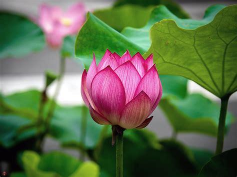 sacred lotus from the garden of zen sacred lotus flower kencho ji