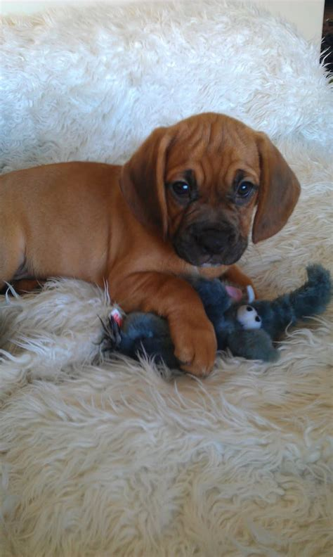 cross between pug and beagle 99 best pugs puggles beagles images on puggle puppies baby puppies