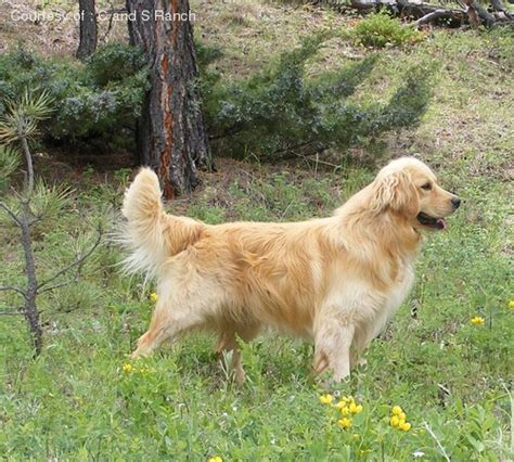 miniature golden retriever oregon miniature golden retriever pictures 61j42fj79a