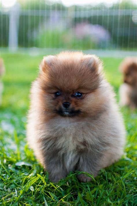 raising a pomeranian 1000 images about pom on pomeranians pomeranian dogs and pomeranian