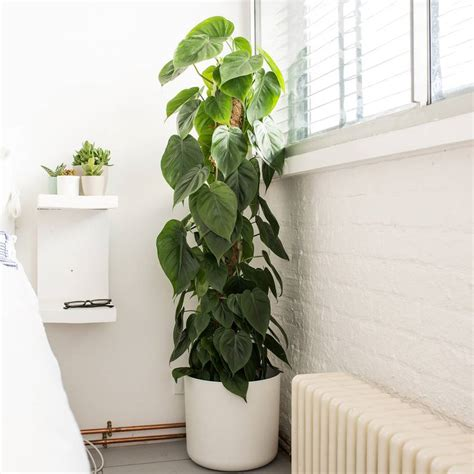 awesome home and then large plants tall houseplants to philodendron scandens plants patch