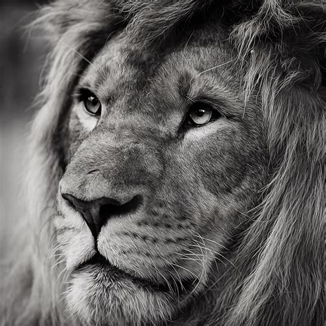 iphone wallpaper hd lion lion wallpapers for iphone and ipad