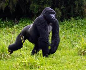 Gorilla all about animal wildlife gorilla animal information and photos