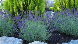 Most Fragrant Lavender Plants - qualitree propagators inc lavandula angustifolia hidcote blue