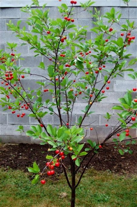 how to prune fruit trees how to prune fruit trees