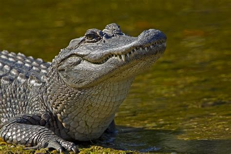 alligators | Out of the Wilderness