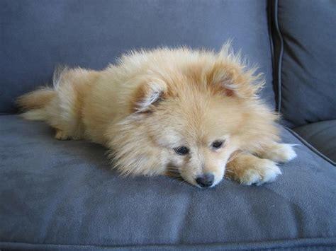 golden pomeranian puppies pretty golden pomeranian puppy jpg hi res 720p hd