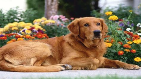 healthy golden retriever keeping your golden retriever healthy