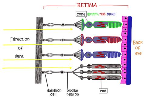 rods in the retina are the receptors for color rods in the retina are the receptors for color