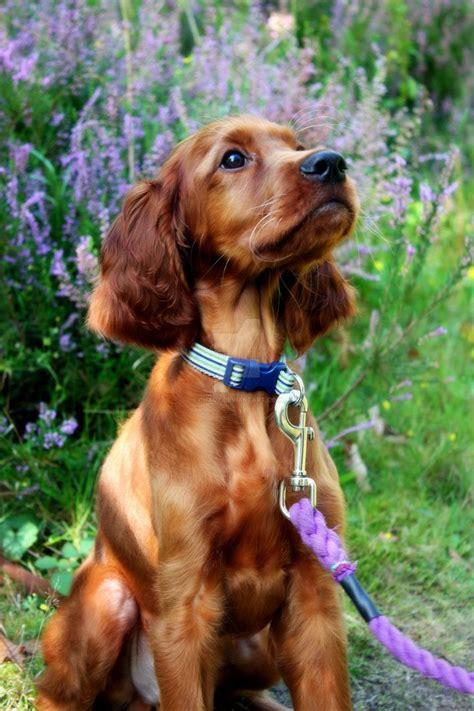 irish setter outside dog the 25 best irish setter dogs ideas on pinterest setter