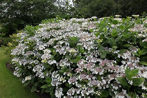 Most Beautiful Flowering Shrubs - buy lacecap hydrangea hydrangea macrophylla lanarth white delivery by crocus