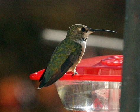 selasphorus hummingbird hollis nh flickr photo sharing