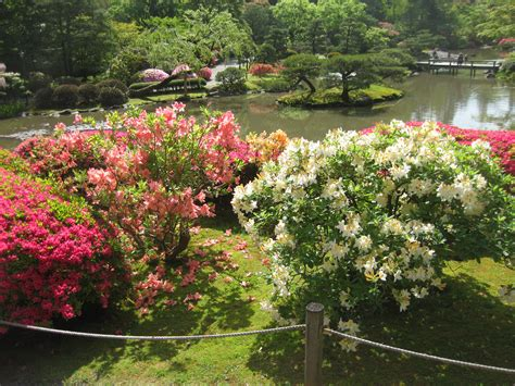 patio rhododendron rhododendron japonicum japanese azalea sjg bloom