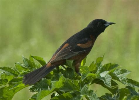 sw louisiana birds may 2012