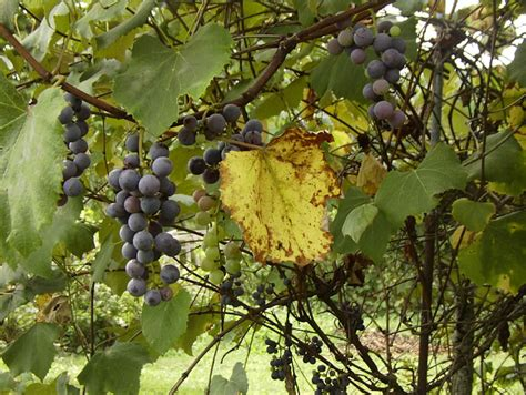 what to do with concord grapes