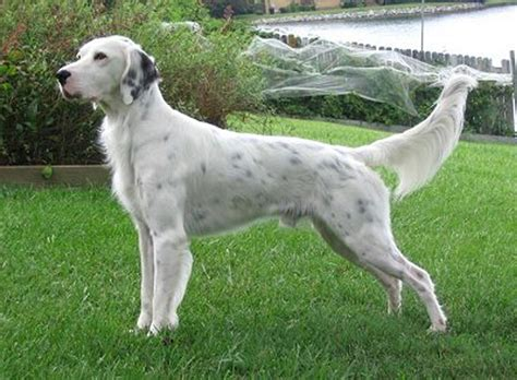 english setter dog pictures english setter history personality appearance health