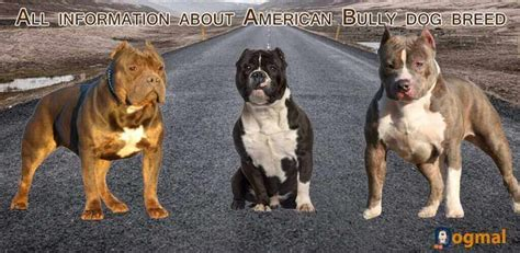best food for american bully puppy american bully characteristic appearance and picture