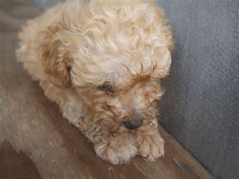 yorkie poo yorkie poo puppies for adoption breeds picture
