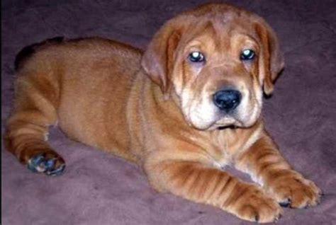 ba shar puppies ba shar basset hound shar pei mix maybe someday