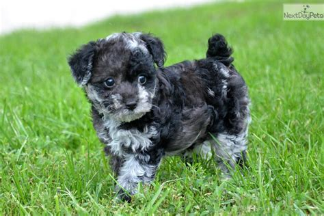 puppies for sale in west virginia different breeds for sale trend home design and decor