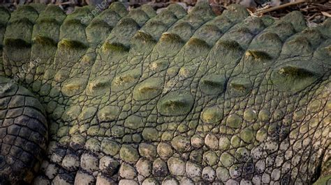 Crocodile Armour detail of crocodile s armor and scales stock photo