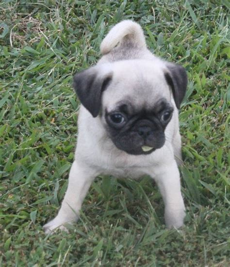 wisconsin pug rescue miniature pugs for adoption breeds picture