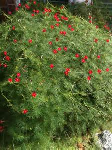 mary s place cypress vine quot hummingbird vine quot