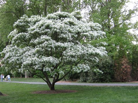 white tree 25 april 2013 smithsonian gardens