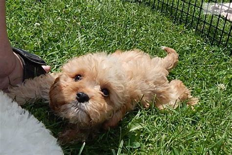 cavapoo puppies for sale in indiana cavapoo puppy for sale near south bend michiana indiana 4c25e20f 99b1