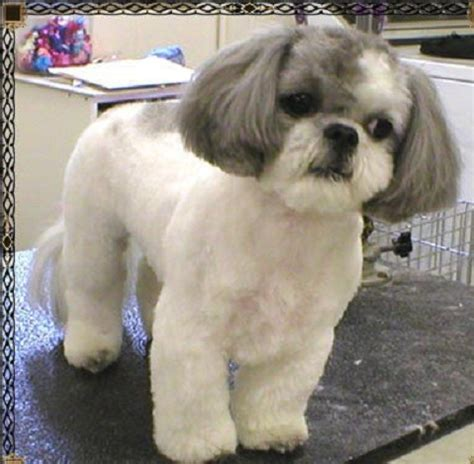 trimmed shih tzu shih tzu haircuts search new baby shih tzu haircuts and