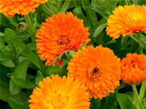 Orange Floral King Sprei orange king calendula seeds baker creek heirloom seeds