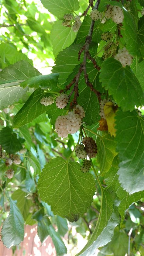 white mulberry care learn how to grow a white mulberry tree