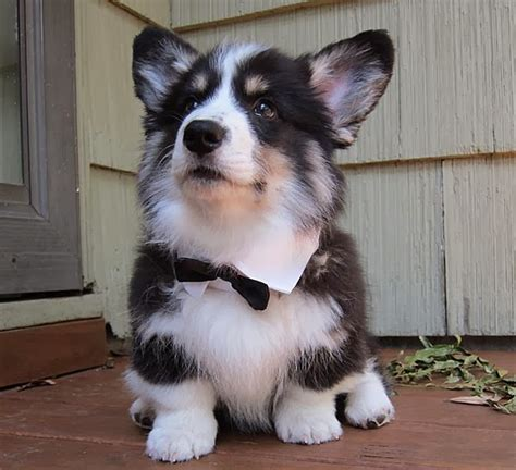 corgi husky puppies for sale husky corgi mix puppies breeds picture
