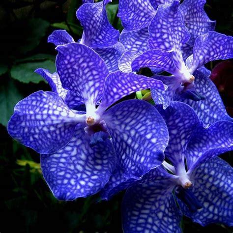 orchidea senza fiori quando scegliere un orchidea vanda cura orchidee