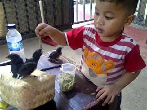 Pakan Lolohan Anakan Murai Batu cara meloloh piyik anak kenari doovi