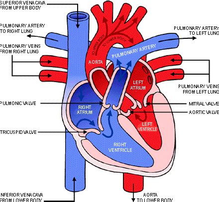 blood flow diagram of the the direction of blood flow through the ms d