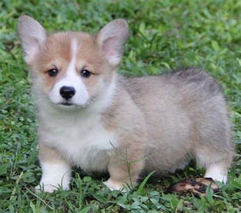 Sho Anak Anjing Sho Puppy anjing dijual puppy corgi show prospek anjing pembroke