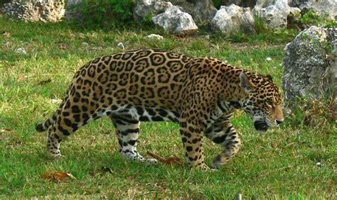 of jaguars pictures of jaguars animal photos