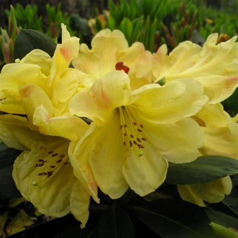 Giftaplant   RHODODENDRON GOLDEN WEDDING SPECIMEN