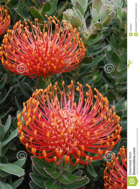 fiori esotici immagini fiore esotico rosso immagine stock immagine 7404621